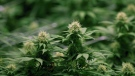 File - The government of Prince Edward Island says it will operate four government-owned retail locations for recreational cannabis and allow online orders for home delivery. (April 14, 2016 file photo. THE CANADIAN PRESS/Ron Ward)