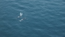 Right whales are seen in the south Gulf of Saint Lawrence in this May 5, 2018 handout photo. (THE CANADIAN PRESS/HO - Fisheries and Oceans Canada, Conservation and Protection Branch)