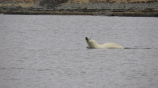 polar bear in Newfoundland
