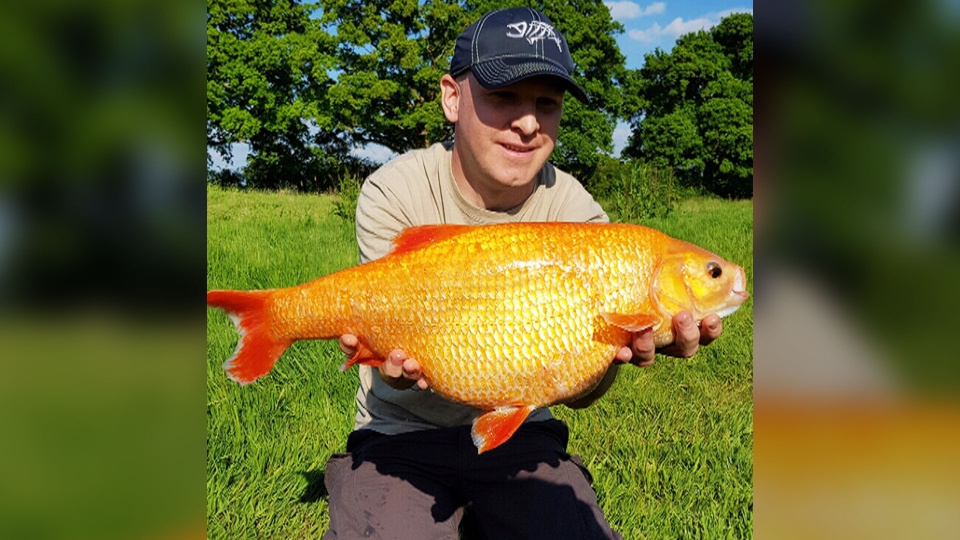The Golden Orfe fish looks like a larger version of something you might win at a midway.
