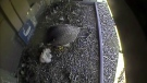 CTV Kitchener Peregrine Falcon Cam