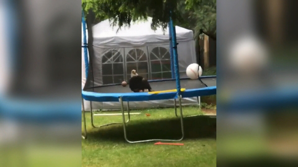 A bald eagle locked in a life-or-death fight with a rival became trapped in a trampoline enclosure at a home in Royston. (Submitted)