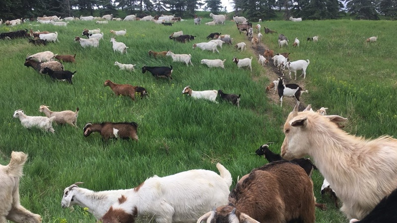 The City of Edmonton hired nearly 400 goats to eat weeds at Rundle Park for the second of a three-year pilot project.