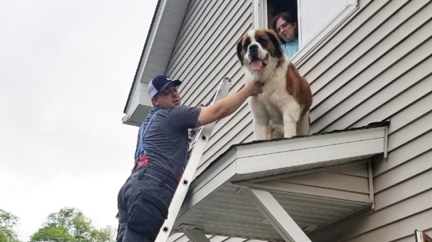 Saint Bernard named Whiskey