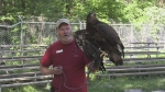 Injured bald eagle recovers at Wye Marsh