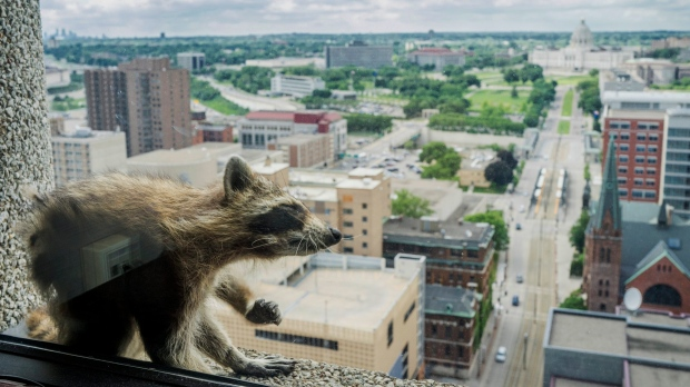 St. Paul raccoon reaches roof after scaling downtown tower