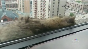 The raccoon that climbed