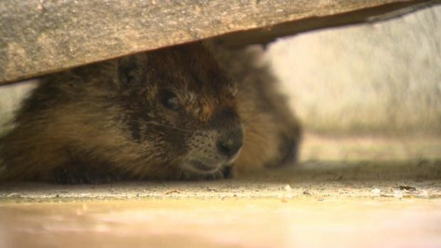 Yellow-bellied marmot in Nanaimo
