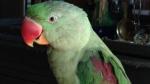 Cochrane parrot flies the coop