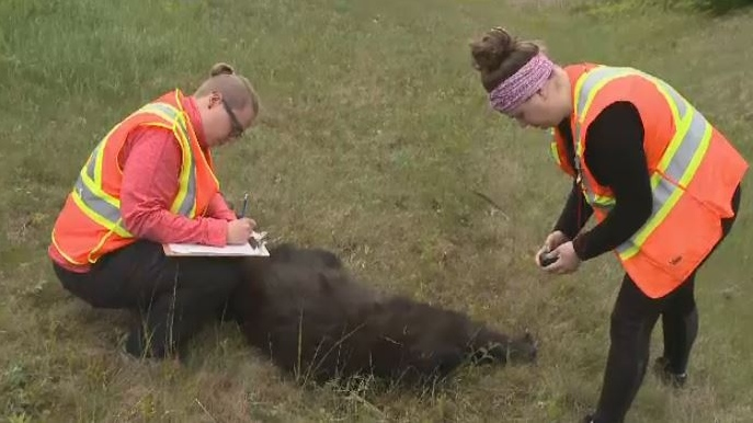 Researchers Amelia Barnes (left) and Bethany Walsh examine a black bear found dead near the New Brunswick - Nova Scotia border.