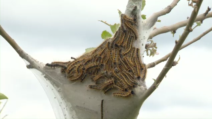 When Eastern tent caterpillars move into a group of deciduous trees, they are voracious and chew up anything that looks remotely green. Then they build these ominous-looking tents.