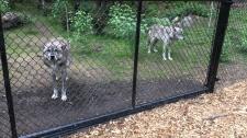 Wolf pack members