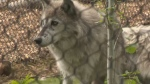 The Assiniboine Park Zoo gave media a sneak peek of its new home for a wolf pack that came to the zoo in 2014. (Images: Jamie Dowsett/CTV News)