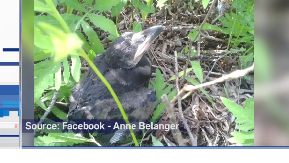 Raven orphaned after tree was cut down by chainsaw