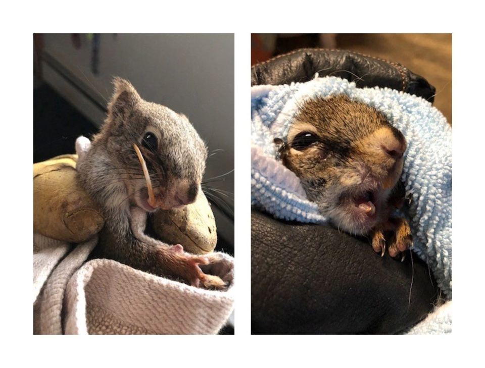 A squirrel named Bucky, shown in handout photos, is back to chomping on seeds and nuts after a woman on a ranch northwest of Edmonton was able to cut back his overgrown teeth.(THE CANADIAN PRESS/HO-Jannet Talbot)