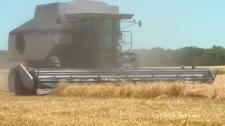 Wheat in Alberta