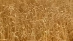Japan bans Canadian wheat for now