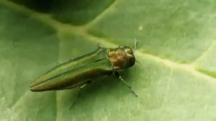 An emerald ash borer is shown in this file photo.