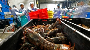 In this June 20, 2014, file photo, lobsters are processed at the Sea Hag Seafood plant in St. George, Maine. (AP Photo/Robert F. Bukaty)