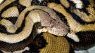 This undated photo released by the Columbus Zoo and Aquarium on Wednesday, Oct. 27, 2010, shows a reticulated python at the zoo. (AP Photo / Columbus Zoo)