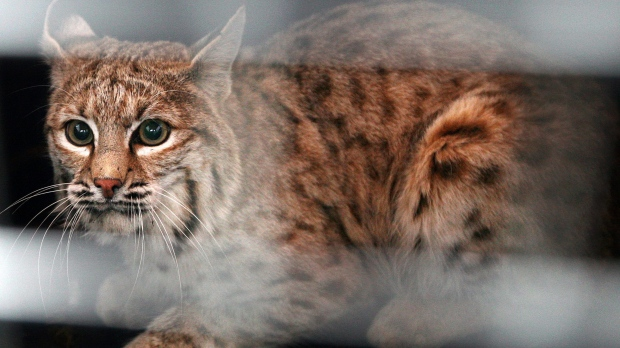 Grandmother kills bobcat with bare hands after it attacks her