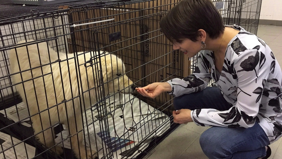 FILE -- Canadian Olympic gold medalist Meagan Duhamel meets with Saffie, a dog rescued from a meat farm in South Korea, currently being cared for in Montreal, Thursday, March 15, 2018. (THE CANADIAN PRESS/Sidhartha Banerjee)