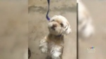 Shih Tzu who went missing n Toronto on Saturday, June 16, 2018, while being transferred into the care of Team Dog Rescue, an animal rescue group.