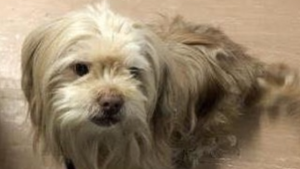Volunteer dog rescue workers in Toronto are asking for help to find a stolen Shih Tzu mix named Toby. (Instagram/teamdogrescue)