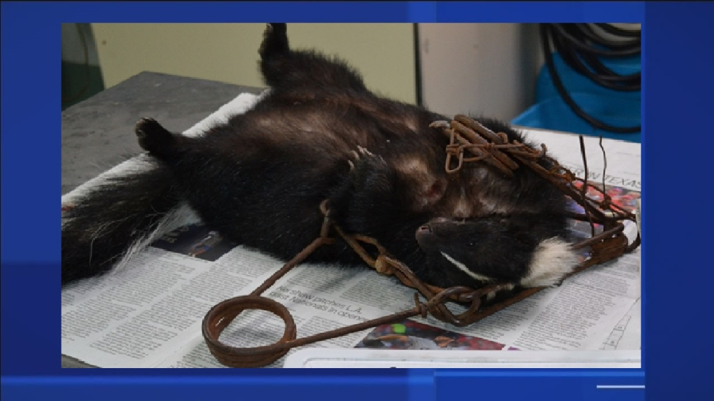 Skunk trapped, man charged June 18