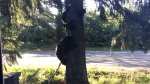 A video posted to Facebook shows the mother bear and at least three tiny cubs climbing down a tree in the front yard of a property in Courtenay. June 18, 2018. (Facebook)