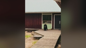 Casadi Schroeder was with her husband and children in Meadow Lake Provincial Park on June 10 when she says her eight-year-old son woke her up to report the bear, pictured here, was outside their cabin's window.