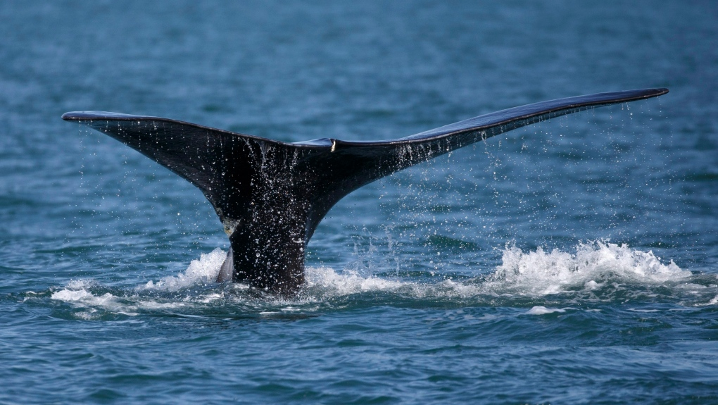 Entangled North Atlantic right whale spotted gear-free off coast of Miscou, N.B.