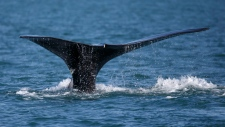 In this March 28, 2018, file photo, a North Atlantic right whale appears at the surface of Cape Cod bay off the coast of Plymouth, Mass. (AP Photo/Michael Dwyer, File)