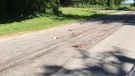 Hundreds of dead chickens were found littered along a series of roads in Adjala-Tosorontio, Ont. on Tuesday, June 19, 2018 (Teri Stewart / Facebook)