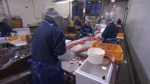 Workers prepare fish at the 7 Seas fish processing plant. (CTV)