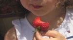 Ontario strawberry season gets early start