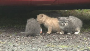 Cape Breton's Isle Madame has a serious stray cat problem and a local rescue group is asking for help in finding a solution.
