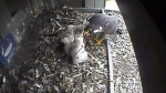 CTV Kitchener Peregrine Falcon Cam