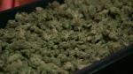 Calgary - Cannabis