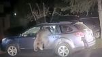 A bear that managed to break into a car needed help from a sheriff's deputy to get out. (Placer County Sheriff's Office)