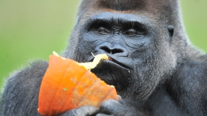 Gorilla Koko enjoys a pumpkin at the Detroit Zoo, on Wednesday, Oct. 15, 2014 in Detroit. (AP Photo/Detroit News, Daniel Mears)