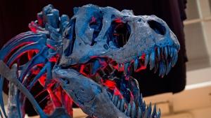 The skeleton of an adult Tyrannosaurus rex. (© SVEN HOPPE / DPA / AFP)