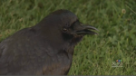 Canuck the crow's baby birds fail to survive