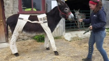 A donkey named Big Ben wears pants at the Donkey Sanctuary of Canada on Wednesday, June 20, 2018.