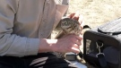A burrowing owl is released in the CFB Suffield National Wildlife Area (image courtesy: Calgary Zoo)