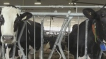 Robots taking over milking duties
