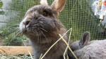 Two rabbits are shown in Amie Nowak's yard in Richmond, B.C.
