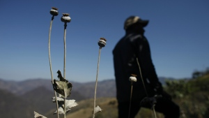 A man stands in a poppy flower field in the Sierra Madre del Sur mountains of Guerrero state, Mexico on Jan. 27, 2015. (AP Photo/Dario Lopez-Mills, File)