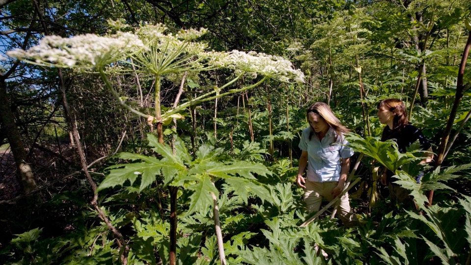 Conservation Lands Planner Victoria Maines, left, and Natural Heritage Ecologist Charlotte Cox walk through a patch of giant hogweed in Terra Cotta, Ont. on July 20, 2009. THE CANADIAN PRESS/Darren Calabrese