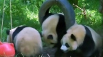 CTV News Channel: Qinling Giant Panda numbers up